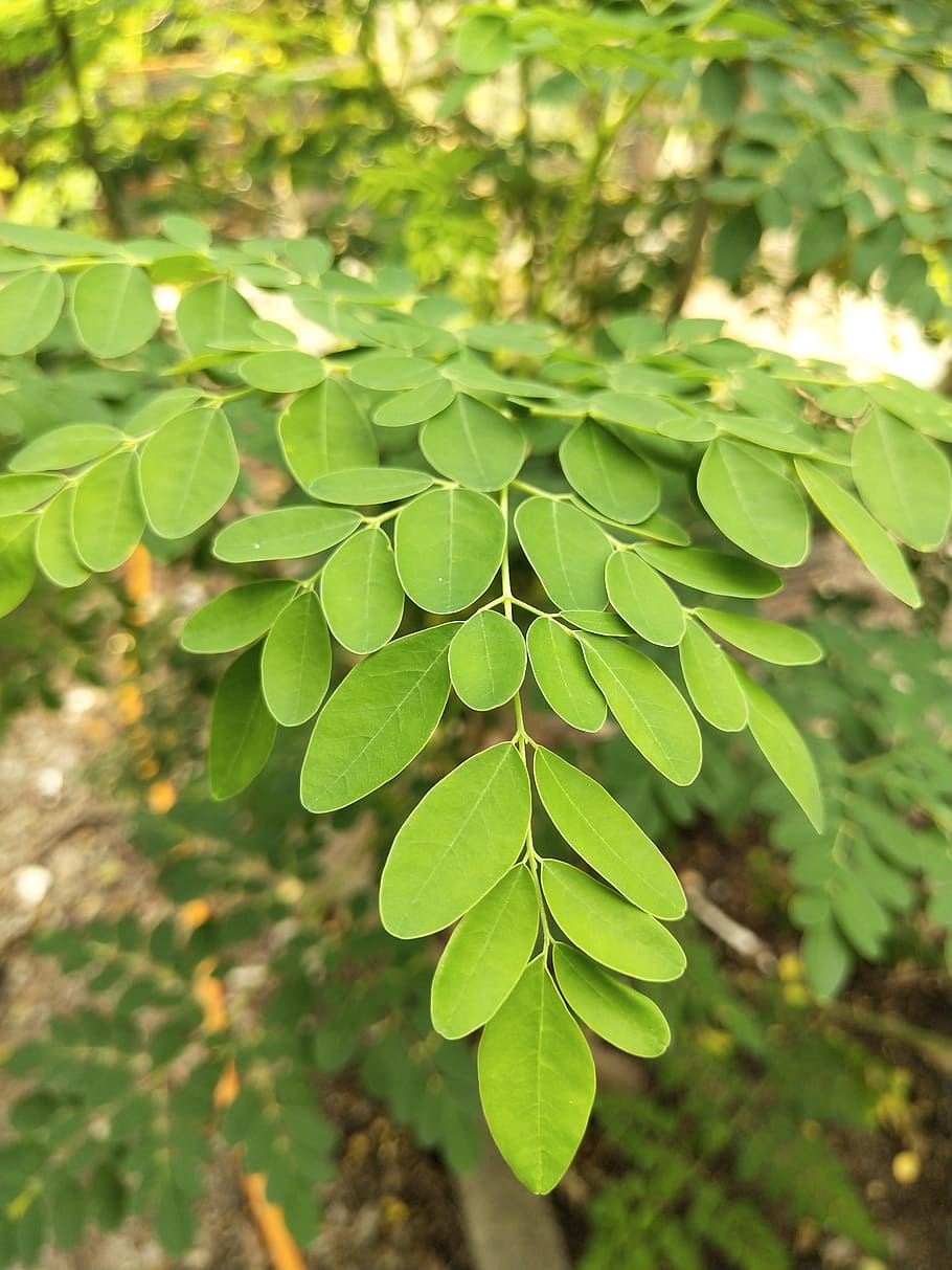 Amazing Benefits Moringa Leaf Powder
