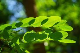 is moringa really good for you